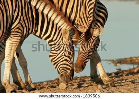 Interaction between two Plains (Burchell's) Zebra (Equus quagga), Etosha National Park, Namibia - stock photo