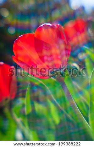 Interesting composition of backlit tulips using the chromatic aberrations of the lensbaby lens to good effect to create vibrant  rainbows of color.  - stock photo