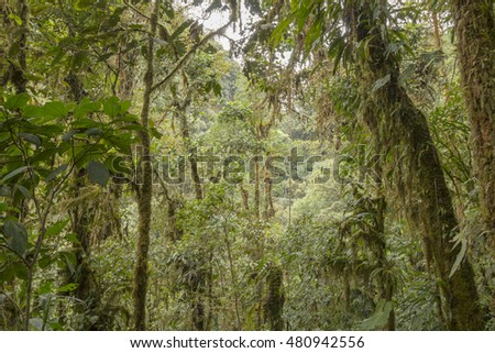 Interior of humid cloud forest with a waterfall in the far distance. The tree trunks are festooned with moss and other epiphytes. On the western slopes of the Andes near Mindo, Ecuador.