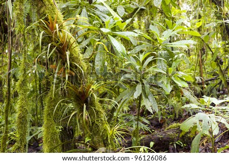 Interior of humid cloudforest on the coastal range in western Ecuador - stock photo