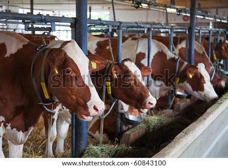 Interior of the modern swiss cow farm - stock photo