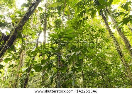 Interior of tropical rainforest in eastern Ecuador. - stock photo