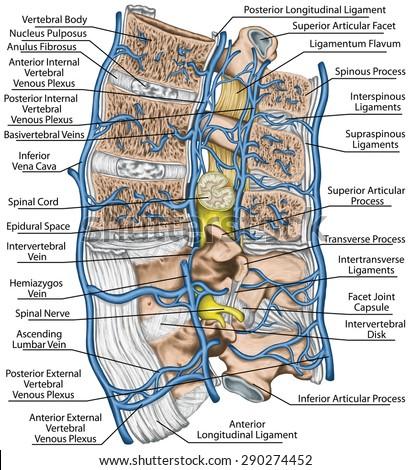 Internal External Vertebral Venous Plexuses Median Stock ...