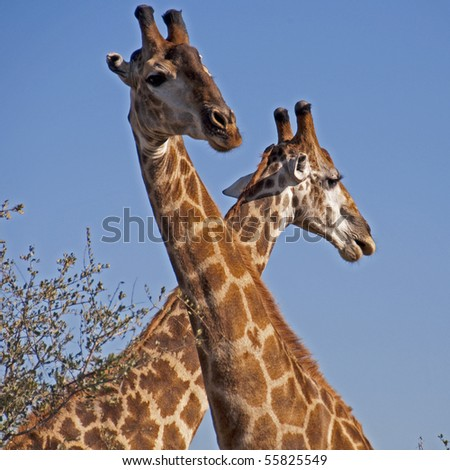 Intertwined Giraffes - stock photo