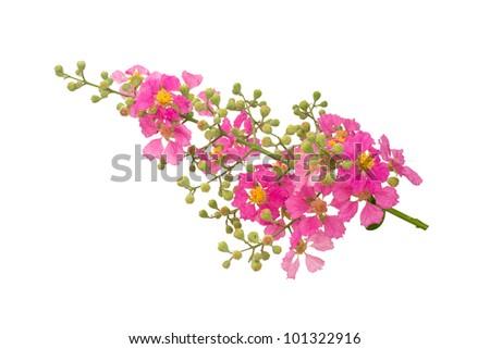 Inthanin flowers isolated on white background. - stock photo