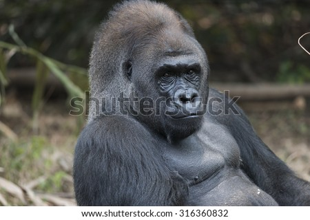 Intimate moment with western lowland silverback gorilla