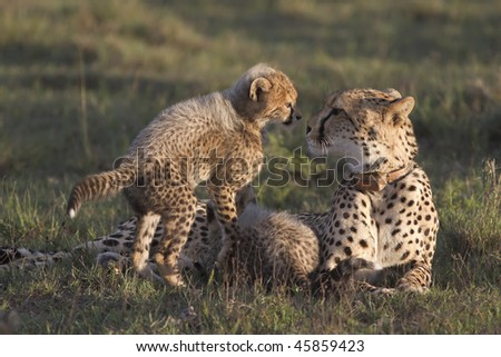 Intimate shot of cheetah mother and cub - stock photo