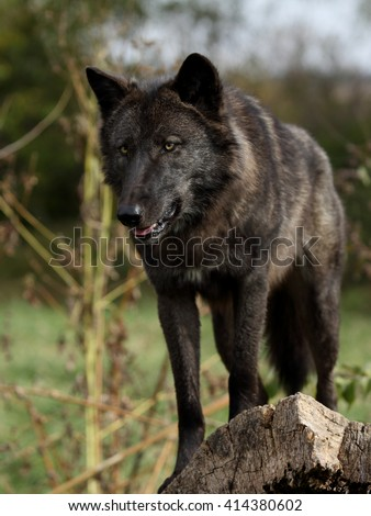 Intimidating black wolf on a log
