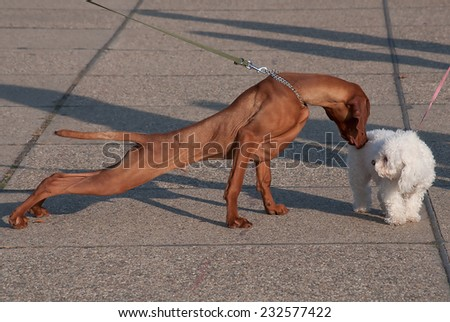 Introducing two dogs when walking - stock photo