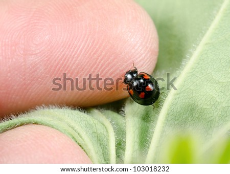 investigative black ladybird - stock photo