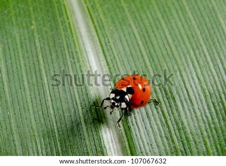 investigative ladybird - stock photo
