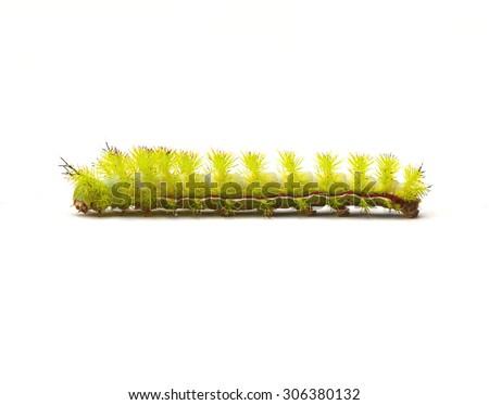 Io Moth Caterpillar (Automeris io) on a white background - stock photo