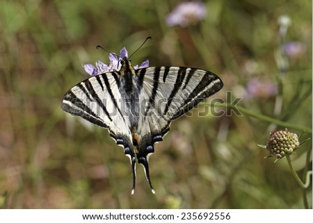 Iphiclides podalirius, Scarce swallowtail, Sail swallowtail, Pear-tree swallowtail from Southern France, Europe - stock photo