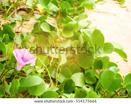 Ipomoea pes-caprae or beach morning glory flowers on the beach in Thailand