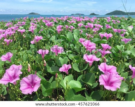 Ipomoea tree with flower on the beach with blue sky and sunlight. (Herbs for poisonous jellyfish)