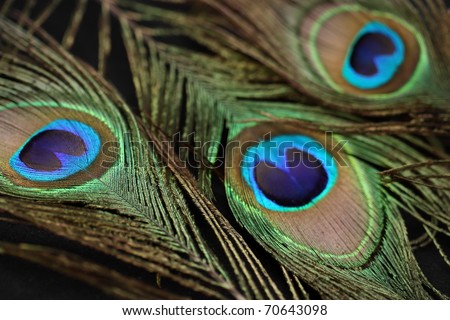 Iridescent peacock feather on the black background. - stock photo