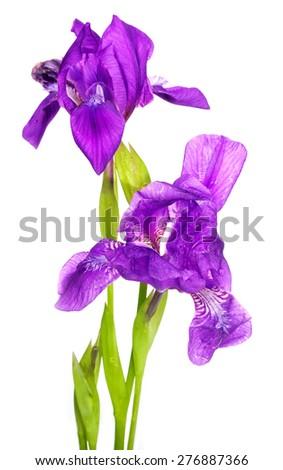 Iris. - stock photo