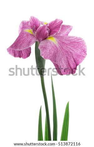 Iris ensata isolated on white background
