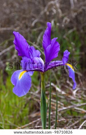 Iris flower in the wild - stock photo
