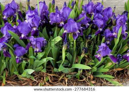 Iris flowers against old wall - stock photo