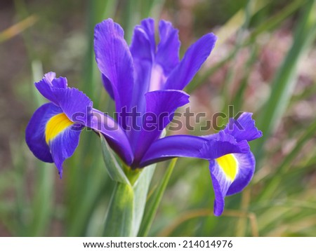 Iris flowers of the variety Blue Magic - stock photo