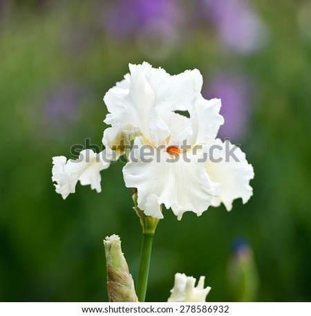 Irises blossoming in a garden, Giardino dell' Iris in Florence, Italy. - stock photo