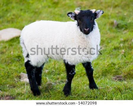 Irish baby sheep on the meadow - stock photo
