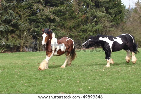 Irish cob galopping in the pasture - stock photo
