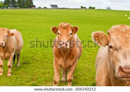 irish cows in a large farm field - stock photo