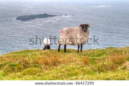 Irish ram with lamb - stock photo