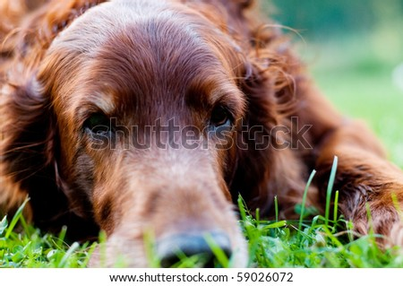 Irish setter - stock photo