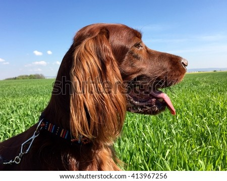 Irish setter head
