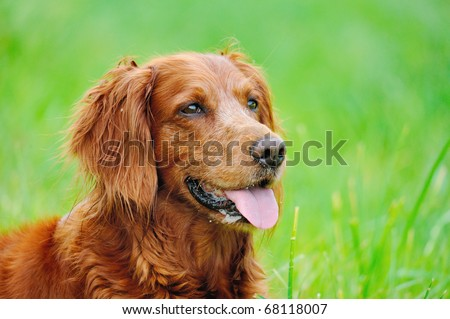 Irish Setter in the meadow - stock photo