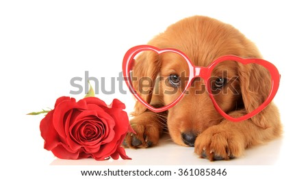 Irish Setter puppy wearing Valentine glasses next to a red rose. - stock photo