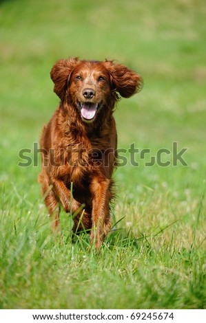Irish Setter runs wet in the meadow - stock photo