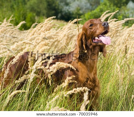 Irish Setter standing in high grass. - stock photo