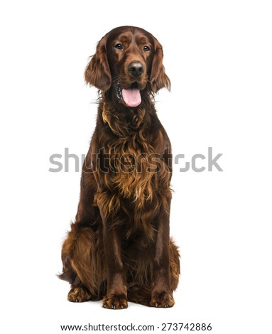 Irish Setter (2years old) in front of a white background - stock photo