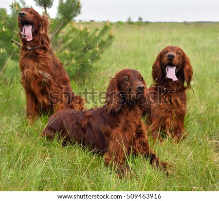 Irish setters resting on a green grass field. Focus on a front dog.
