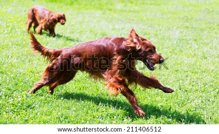 Irish Setters running on grass at park   - stock photo