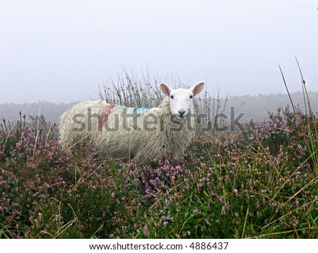 Irish sheep stands alert amongst the tall grasses and heather in the mist - stock photo