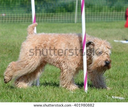 Irish Soft-Coated Wheaten Terrier Weaving Through Poles at a Dog Agility Trial - stock photo