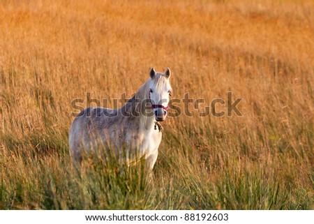 Irish white horse on the meadow - stock photo