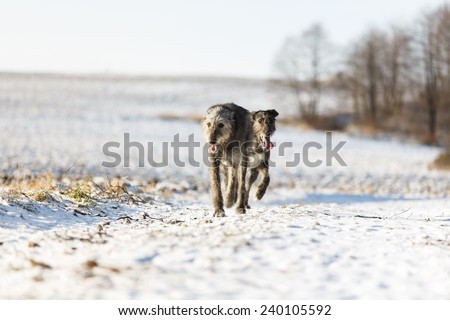 Irish Wolfhound dogs running at winter forest. Irish wolfhound dogs running in field. Two irish wolfhound dogs in winter field.  - stock photo