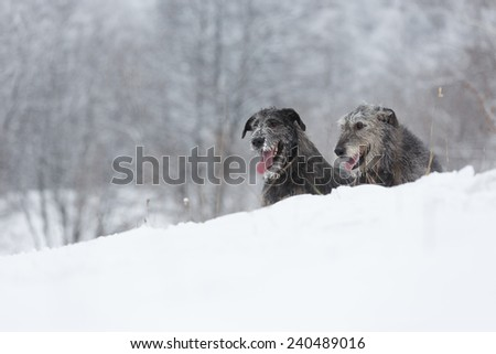 Irish Wolfhound dogs sitting at winter forest. Irish wolfhound dogs posing and looking forward at snowy field. Irish wolfhound dogs hunting and waiting for prey at winter field during snow fall.