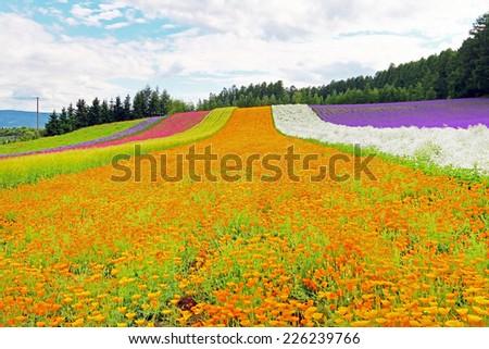 Irodori field, Tomita farm, Furano, Japan. - stock photo