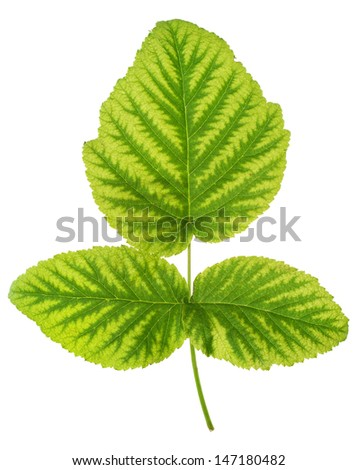 Iron deficiency in raspberry leaf, chlorosis, isolated - stock photo