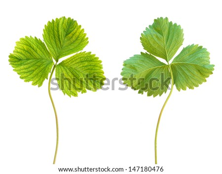Iron deficiency in strawberry plant, chlorosis, isolated - stock photo