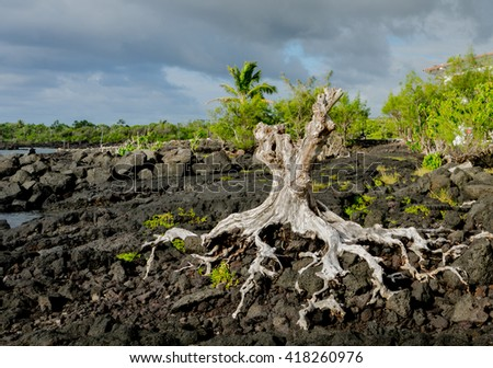 Iron wood tree roots attached to lava from that erupted from Mt. Kilauea on the Big Island of Hawaii. This location is at the Kapoho Tide Pools on the island's east coast. - stock photo