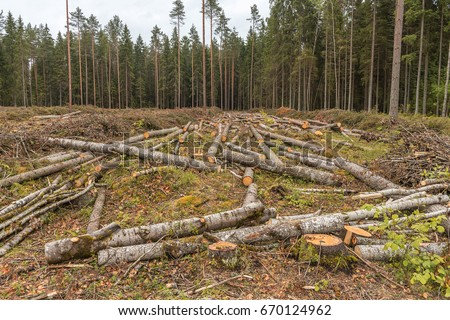 Is deforestation. Carvel pines lie on the plot. Timber harvesting in the coniferous forest.