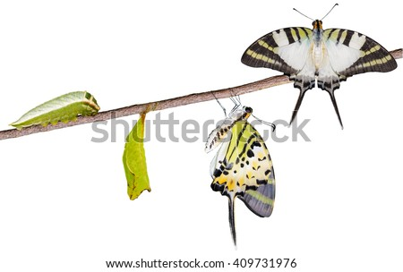 Isoalted five bar swordtail butterfly life cycle with clipping path (antiphates pompilius) - stock photo